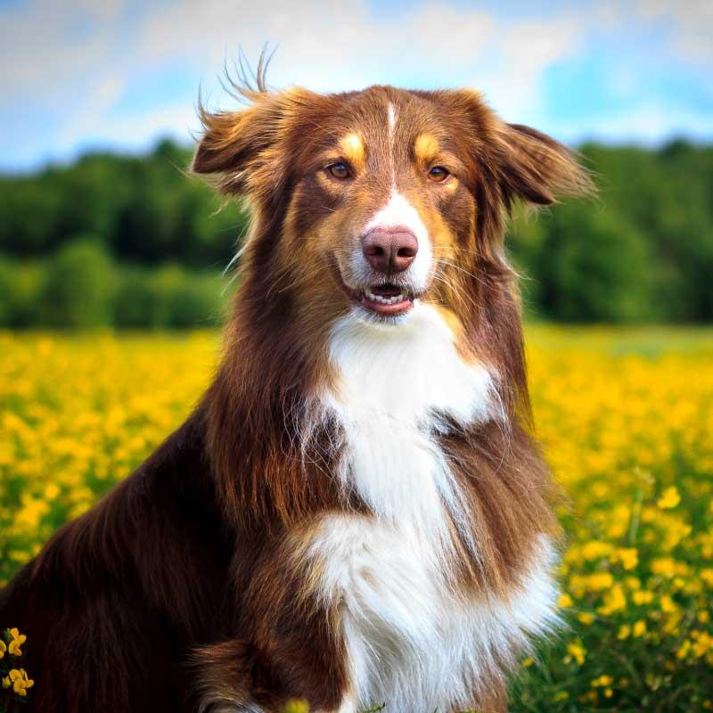 Canine Pancreatitis Natural Treatment